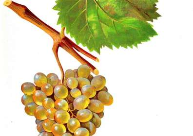 The wine made from Rkatsiteli grape variety/რქაწითელი/ Ркатсители
