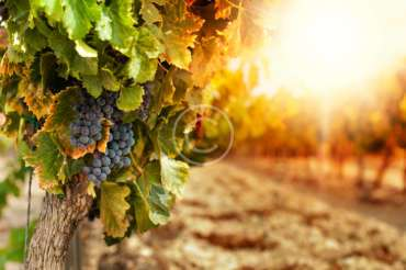 Winemaking — Art, Science, Magic or Technology?